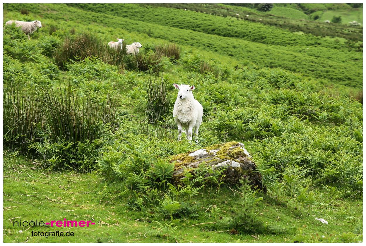 Schaf-im-Brecon-Beacons-Nationalpark-2