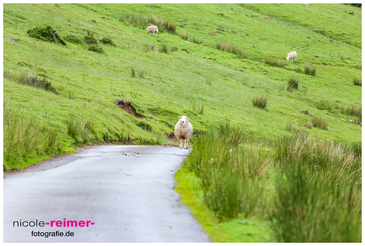 Schaf-im-Brecon-Beacons-Nationalpark3