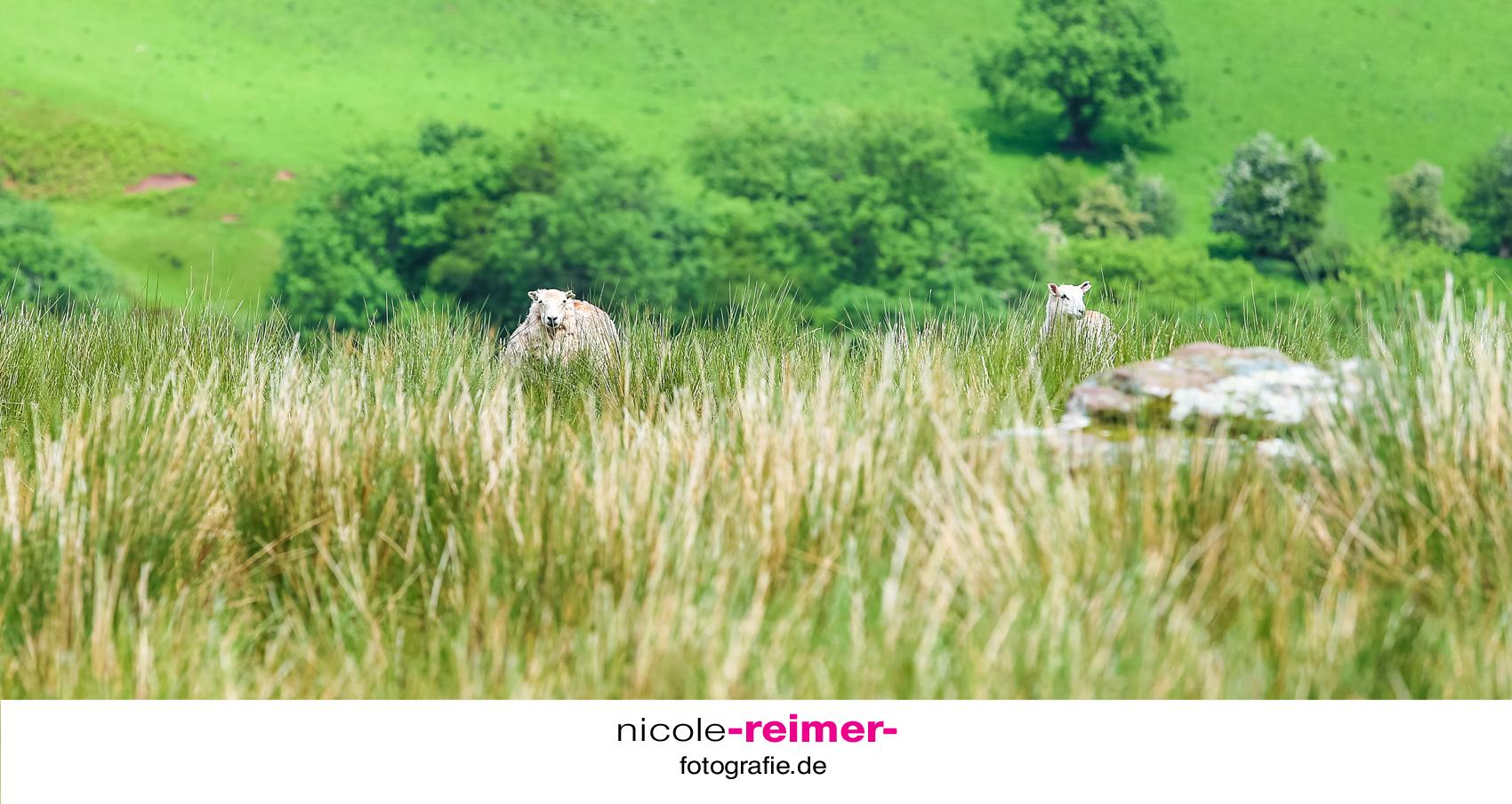 Schafe-im-Brecon-Beacons-Nationalpark3