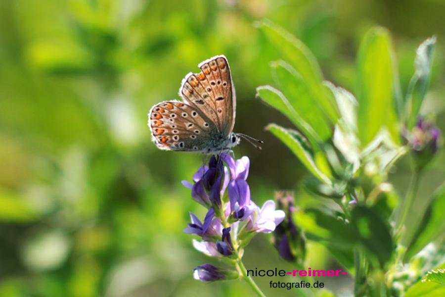 Schmetterling-1