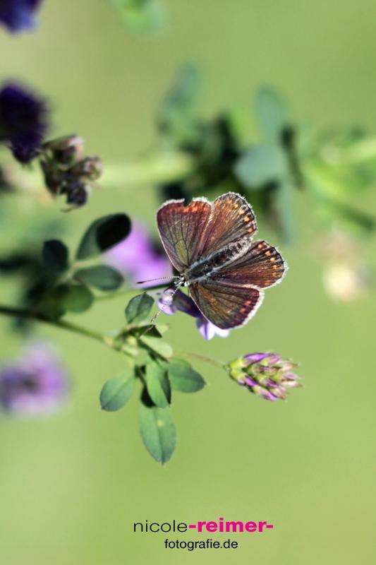 Schmetterling-2
