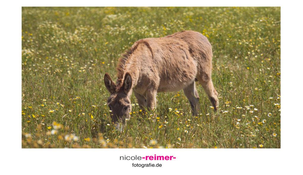 Esel im Süden Mallorcas - Nicole Reimer Fotografie