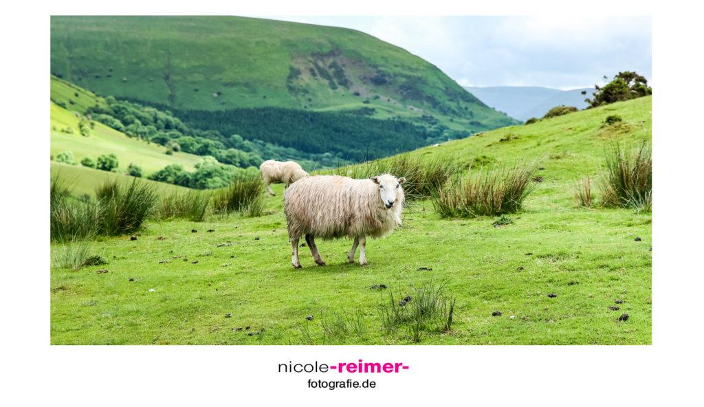 Brecon Beacons Nationalpark - Schaf auf Weide