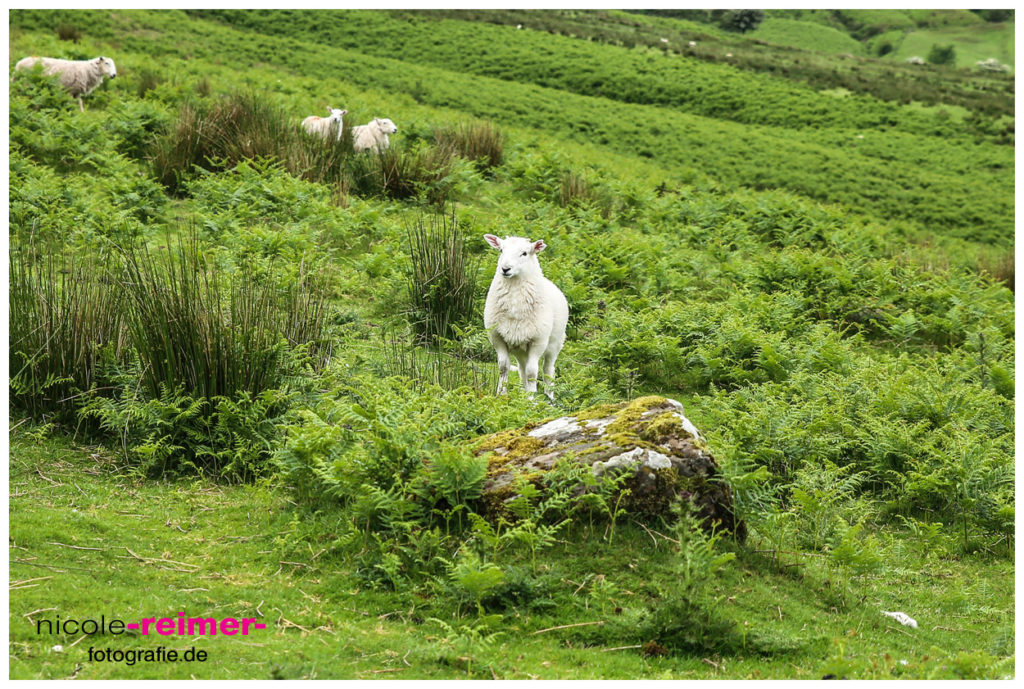 Brecon Beacons Nationalpark in Wales. Schaf Nahaufnahme