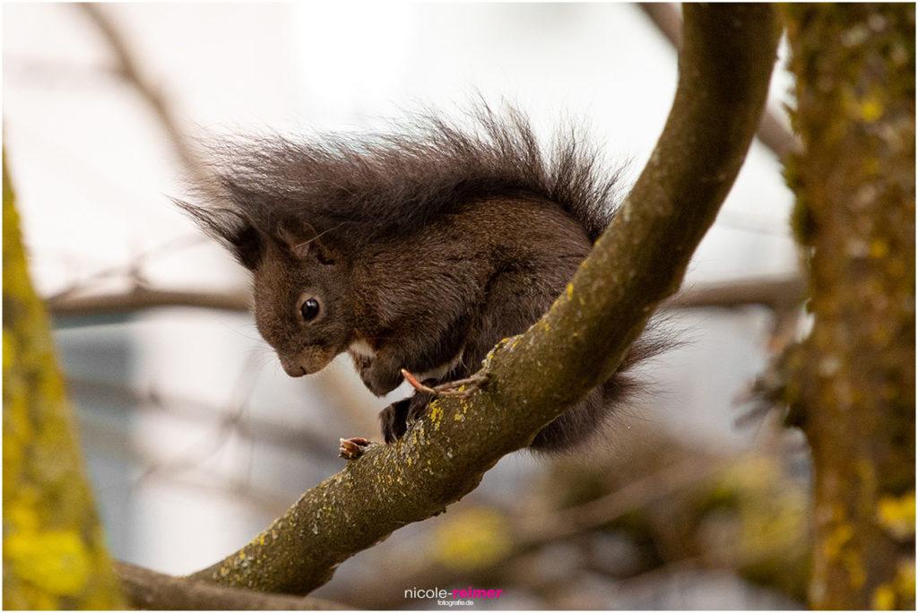 Braunes Eichhörnchen im Sitzen - Nicole Reimer Fotografie