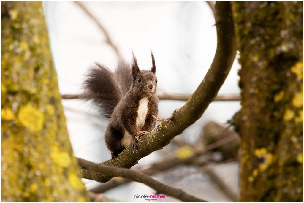 Dunkles Eichhörnchen - Nicole Reimer Fotografie