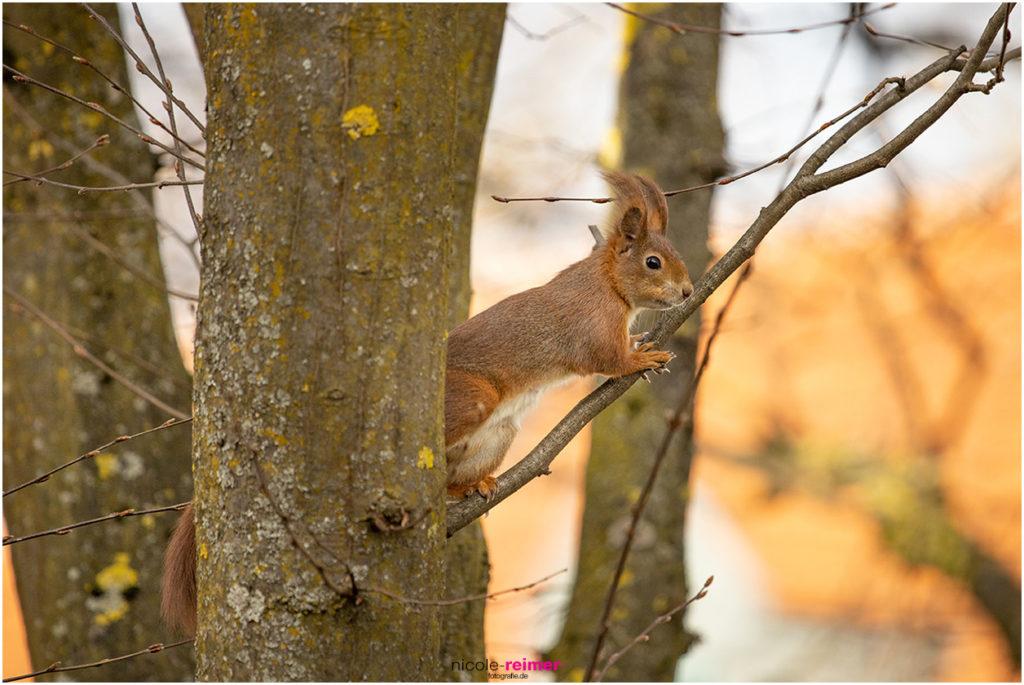 Rotes Eichhörnchen steht auf einem Ast - Nicole Reimer Fotograf