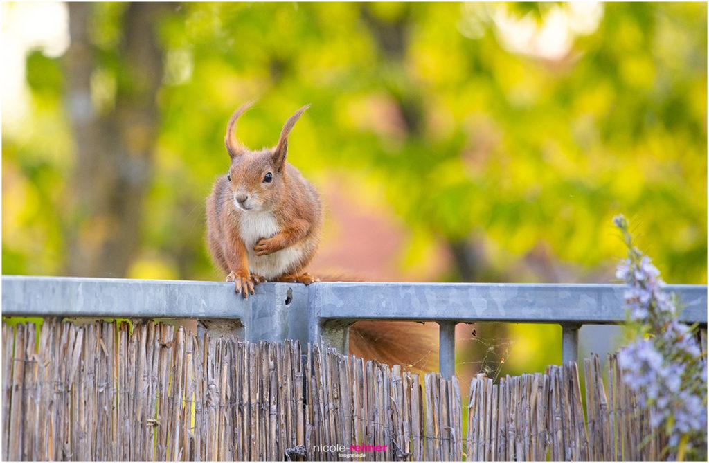 Mrs Puschel, das rote Eichhörnchen sitzt auf Balkon - Nicole Reimer Tierfotografie