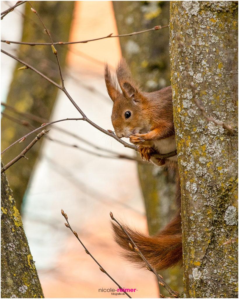 Eichhörnchen beim Putzen, Augsburg, Nicole Reimer Fotografie