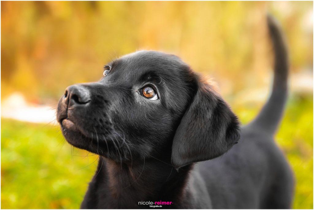 Tierfotografie Nicole Reimer Hundewelpe Dana
