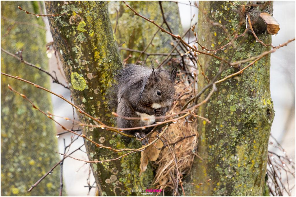 Der tropfnasse Brownie, das dunkelbraune Eichhörnchen-Männchen, wartet auf in strömenden Regen auf Mrs. Puschel, das rote Eichhörnchen - Nicole Reimer Fotografie