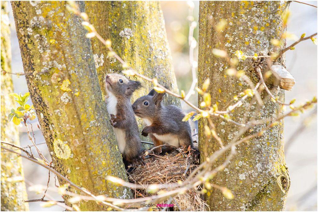 Baby-Eichhörnchen im Kobel vor dem Wohnzimmerfenster - Nicole Reimer Tierfotografie