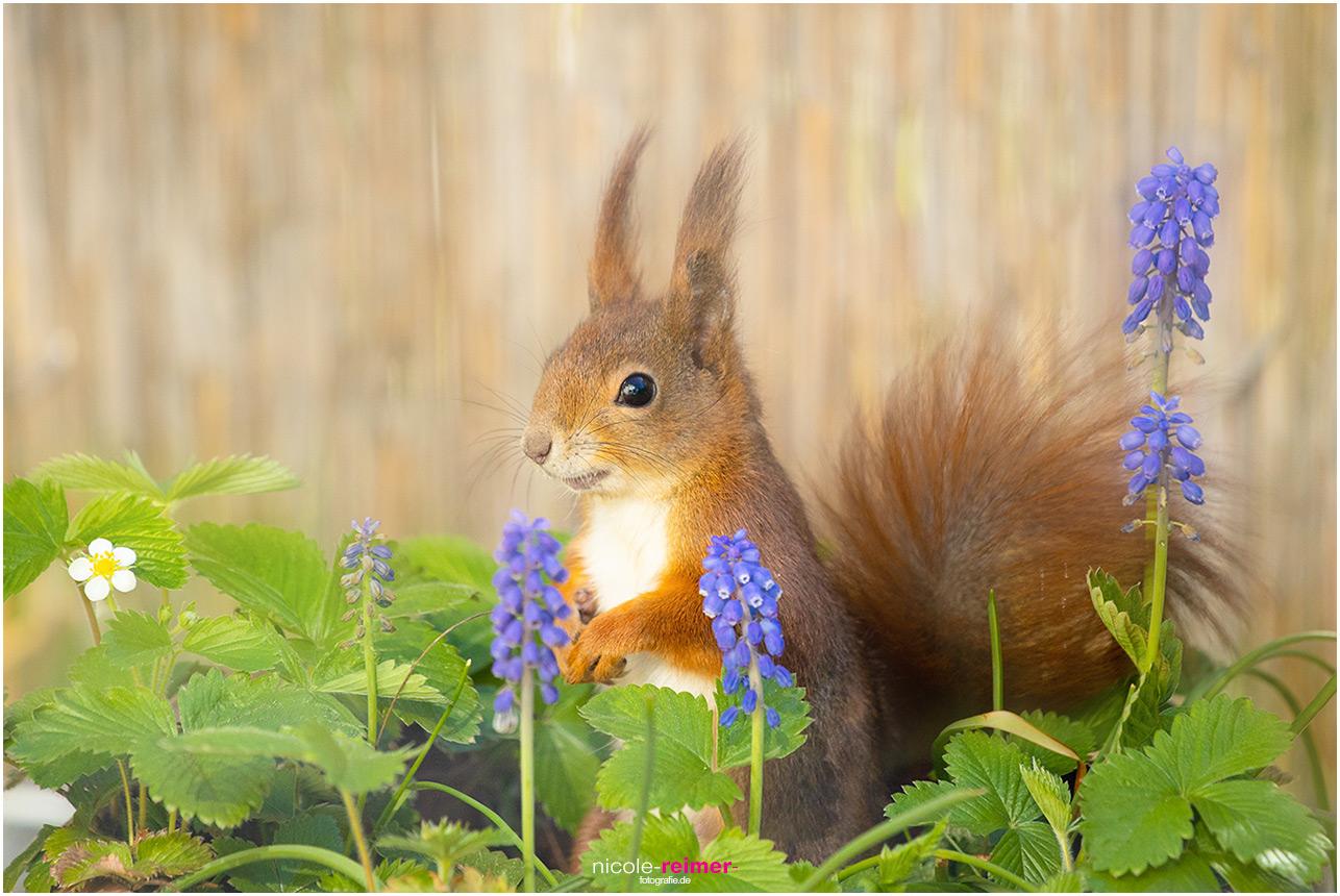 Mrs. Puschel, das rote Eichhörnchen zwischen Hyazinthen - Nicole Reimer Fotografie