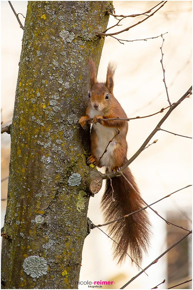 Mrs. Puschel, das rote Eichhörnchen hält sich an einem Ast fest, Nicole Reimer Fotografie