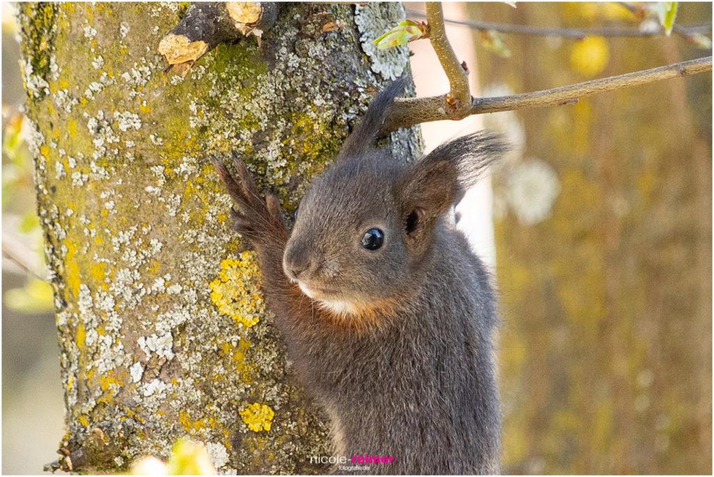 Kleines Eichhörnchen klettert - Nicole Reimer Tierfotografie